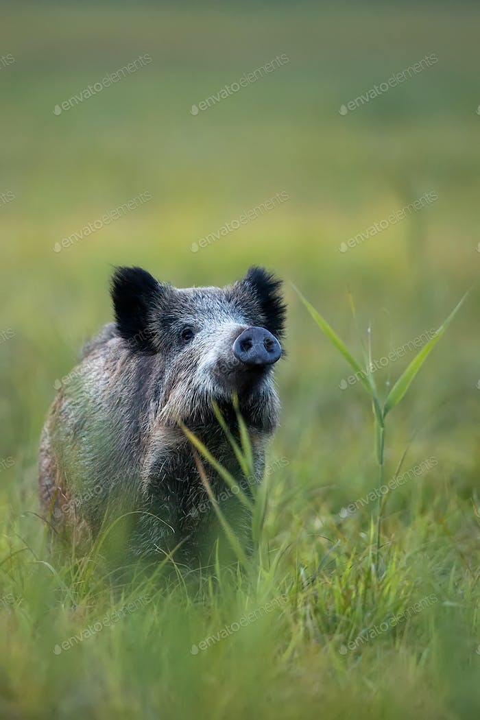 Wild boar in the wild