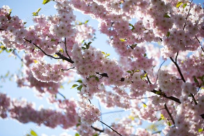 Kirschblütenhintergrund mit Frühlingstag.