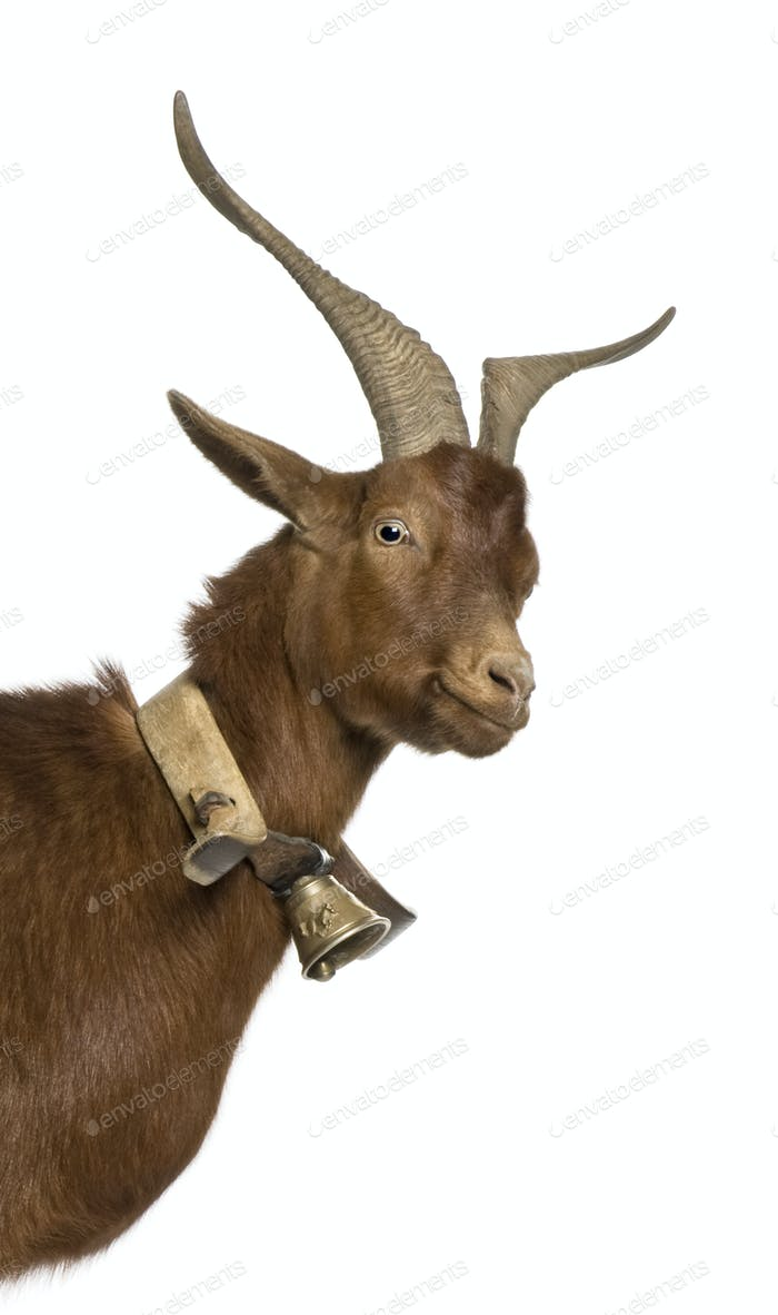 Close-up headshot of Rove goat, 4 years old, standing in front of white background