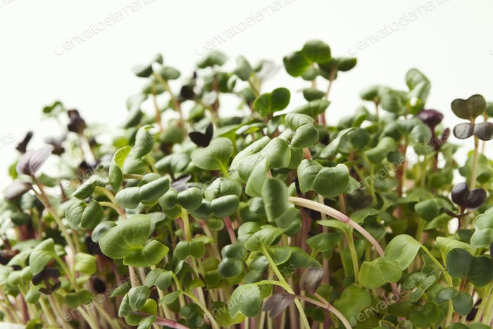Organic growing micro greens closeup
