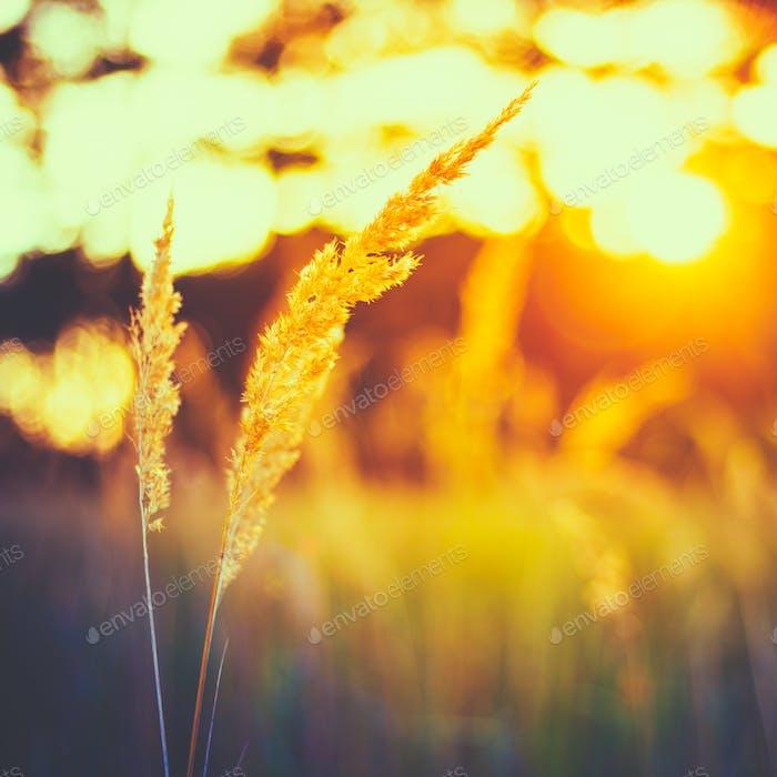Dry Green Grass In Sunset Sunlight. Beautiful Yellow Sunrise Lig