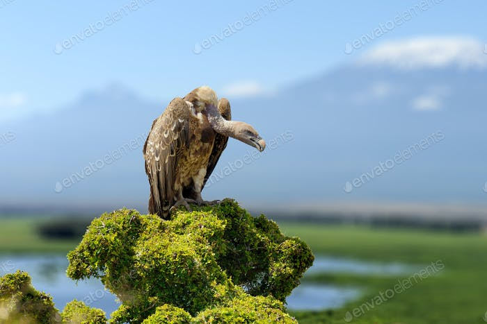 Vulture, big birds of prey sitting on rock mountain, on Kilimanj
