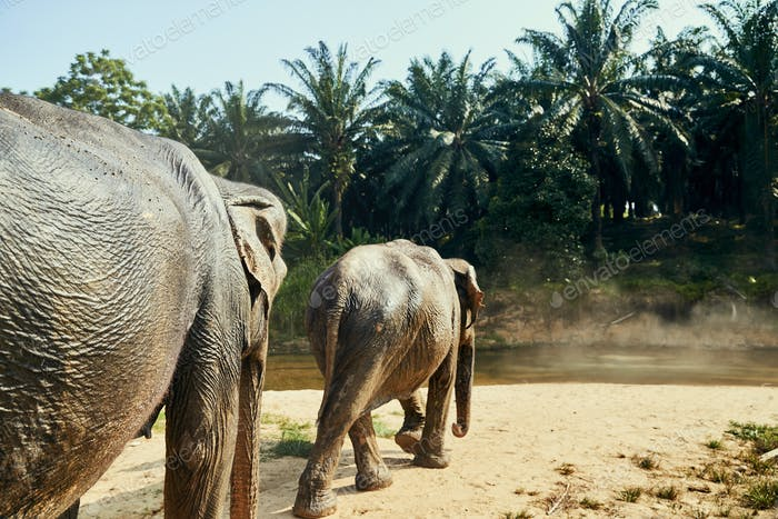 Two Asian elephants walking to a river in the jungle