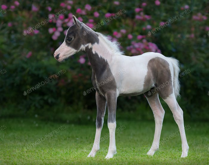 American miniature horse. Pinto foal is one month of birth.