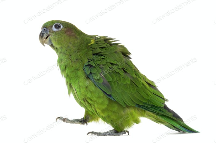 Pileated Parrot isolated on white