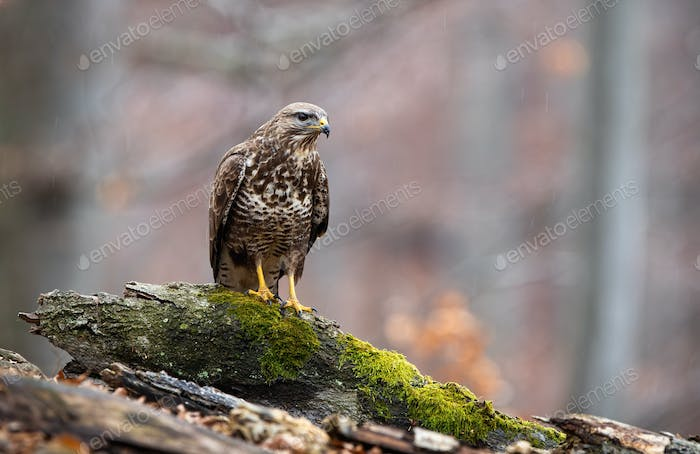 Curious common buzzard sitting on a branch in forest in autumn