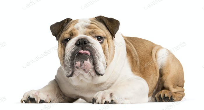 Mixed-breed Dog lying down, Dog, pet, studio photography, cut out