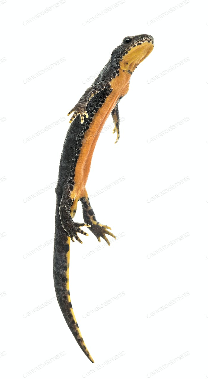 Alpine Newt surfacing against white background