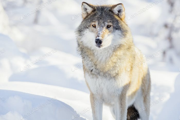Wolf stands in beautiful winter forest
