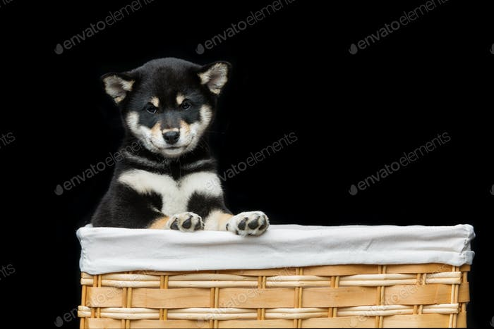 Beautiful shiba inu puppy in basket