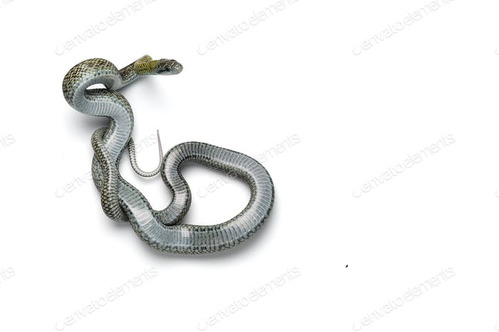 The Japanese rat snake isolated on white background