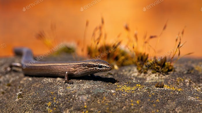 European copper skink, ablepharus kitaibelii, on a stone during autumnal sunset
