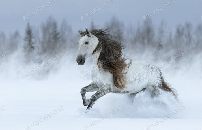 Gray long-maned Spanish horse galloping during snowstorm.