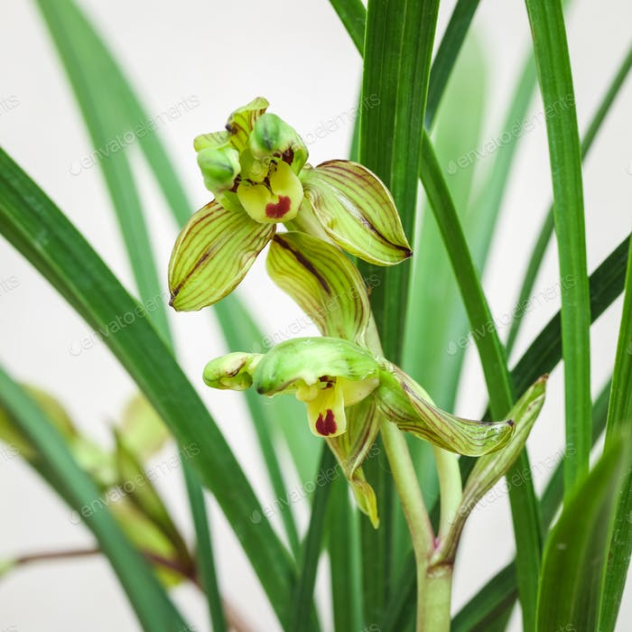 chinese orchid bloom