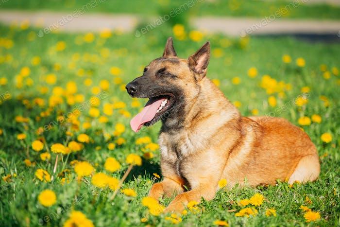 Malinois Hund sitzt im Freien auf grüner Frühlingswiese mit blühenden Löwenzahnblüten. Belgisch