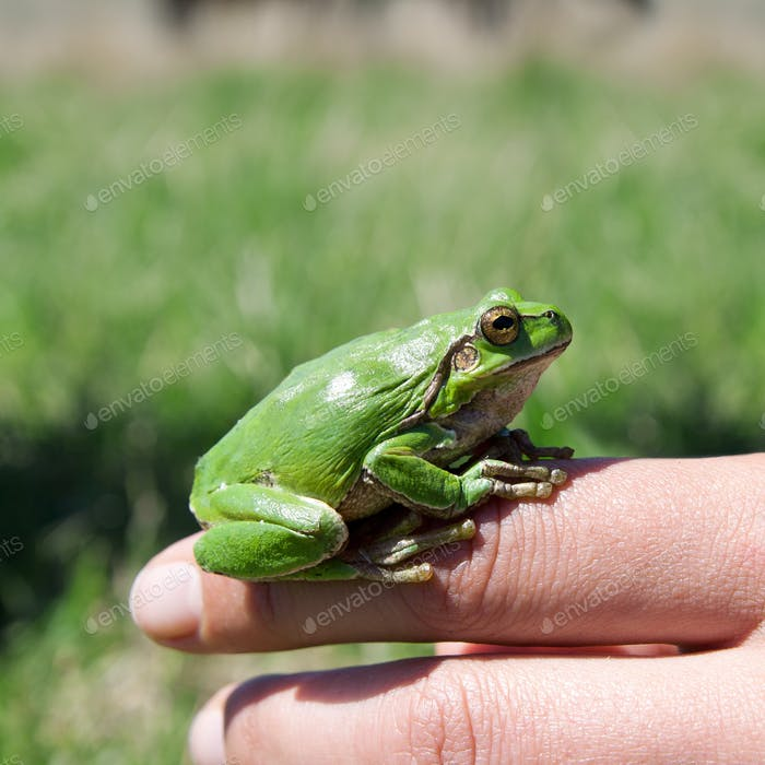 Green frog sitting on a hand