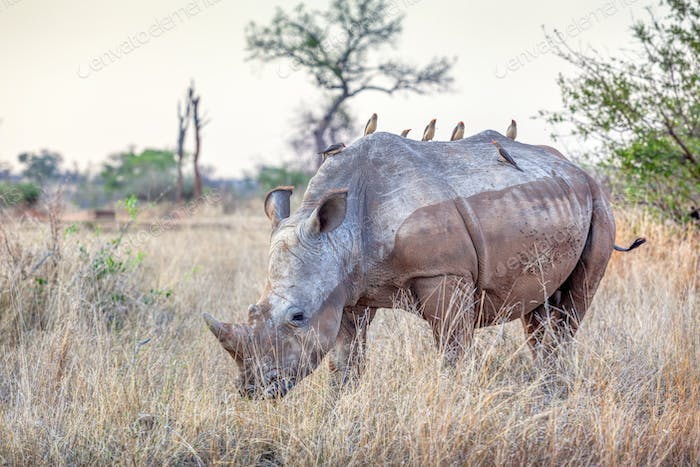 A White Rhino in Kruger Park