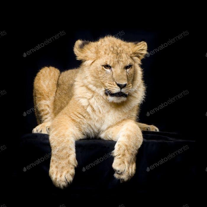 Lion Cub lying down