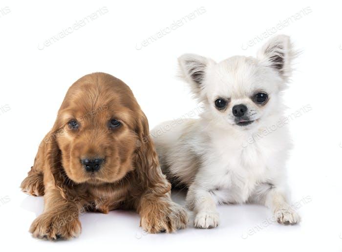 Welpen Cocker Spaniel und Chihuahua