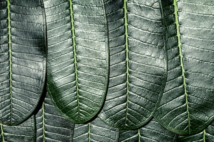 Close up of Plumeria leafs