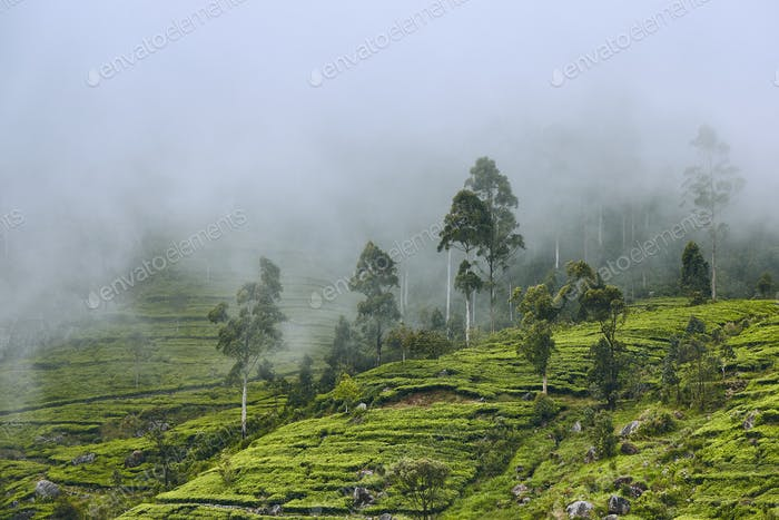 Tea plantation in clouds