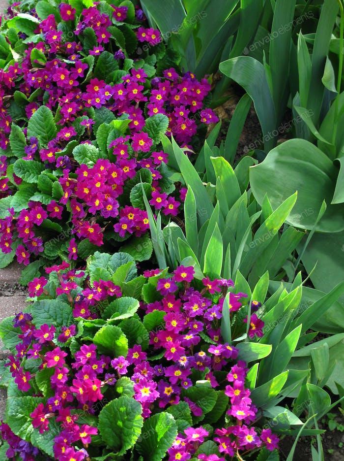 Flowers of Primroses
