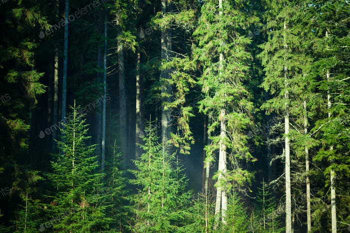 Grüner Sommer Nadelwald