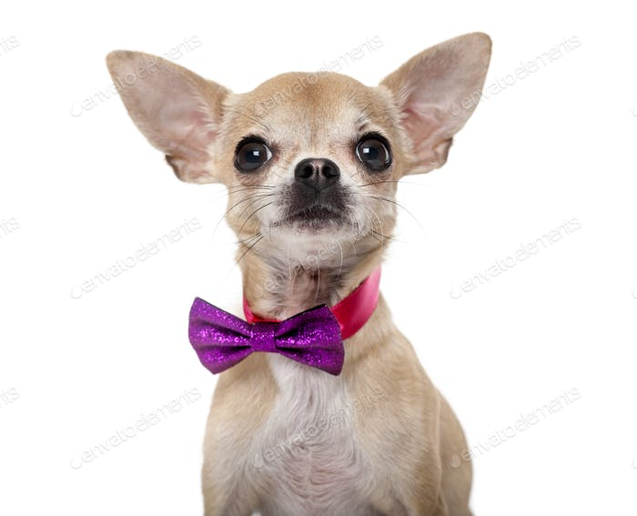 Chihuahua wearing a bow tie in front of a white background