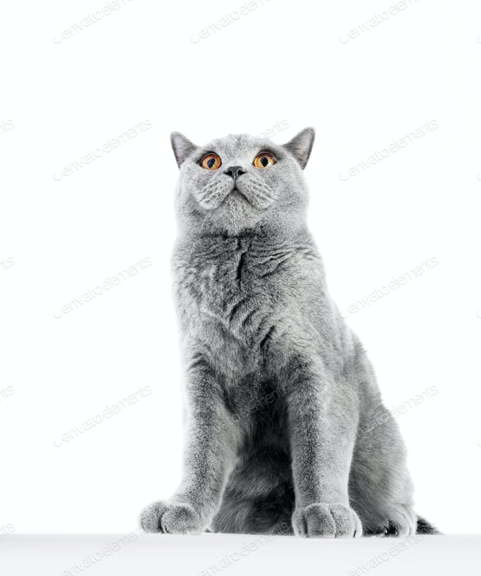 British Shorthair cat isolated on white. Sitting confident