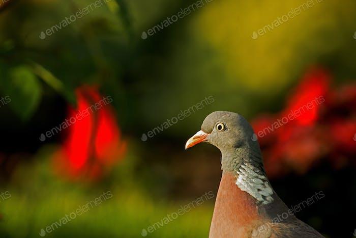 Portrait of Wood pigeon (Columba palumbus) in summer