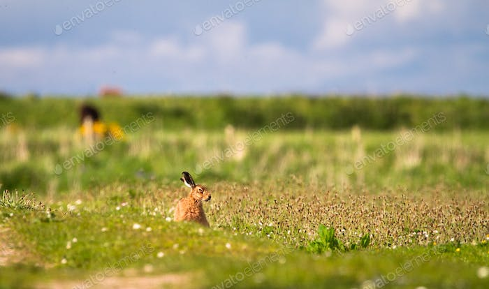 European Hare in a Meadow in Scotland