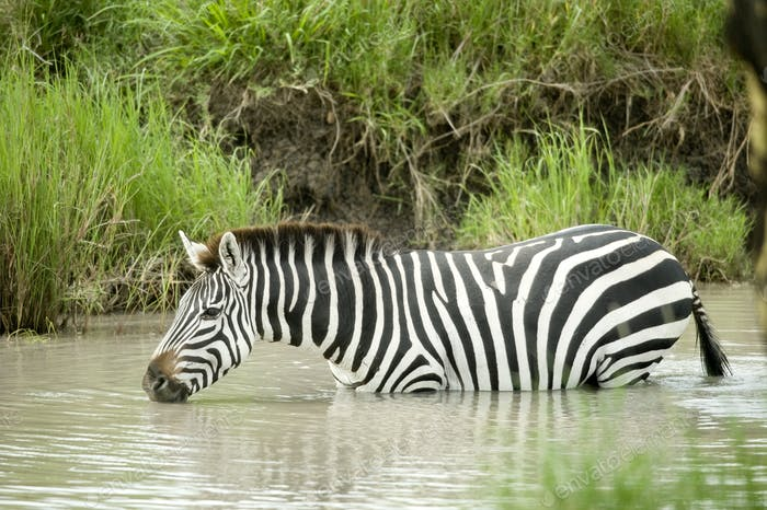 Zebra in the water