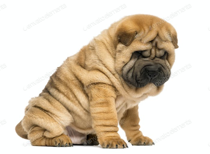 Shar pei puppy sitting; looking down (11 weeks old) isolated on white