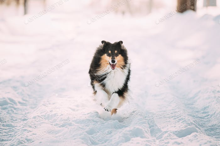 Shetland Sheepdog, Sheltie, Collie Fast Running Outdoor In Snowy Park. Playful Pet In Winter Forest