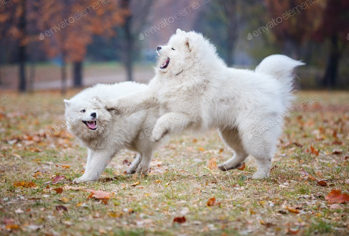 Young samoyed dogs playing in autumn park