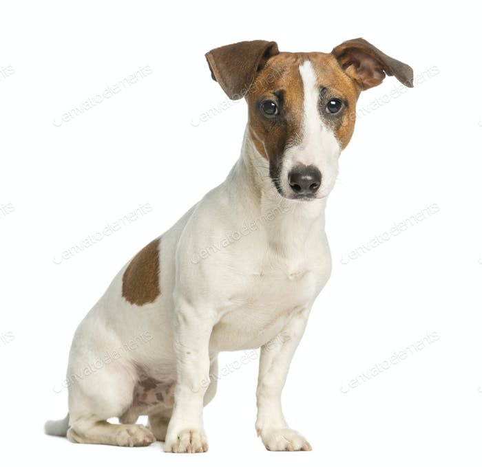 Jack Russell Terrier, sitting and looking at the camera, isolated on white