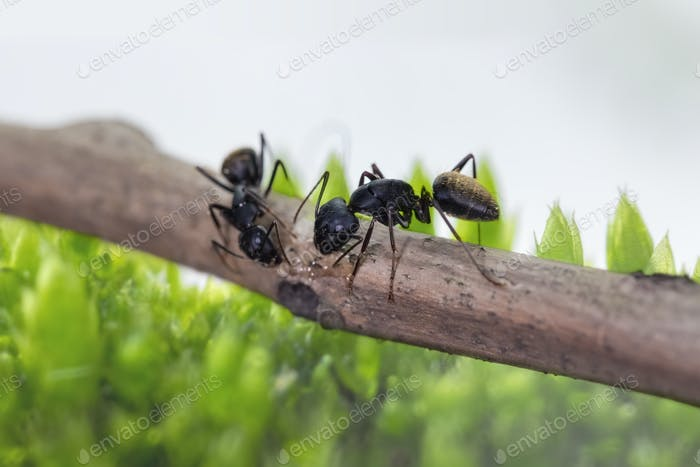 ants foraging with green lichen background