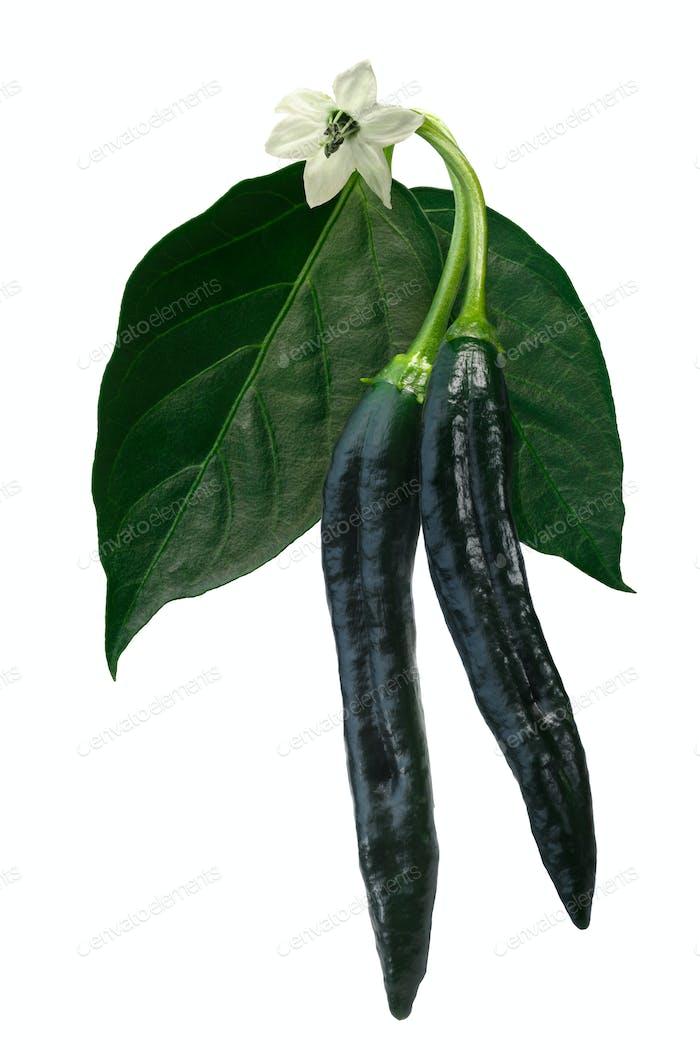 Pasilla Bajio chilaca pepper, path