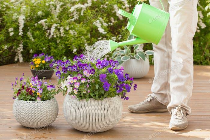 Mann Bewässerung Viola Blumen im Garten
