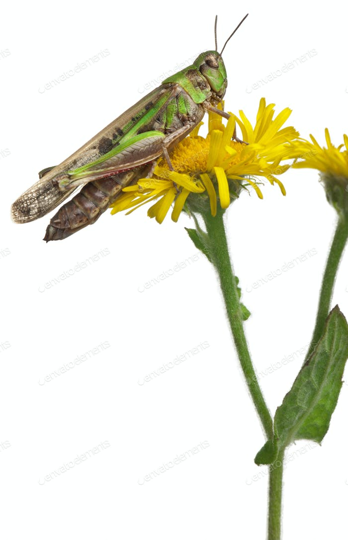 Cricket on a dandelion in front of white background