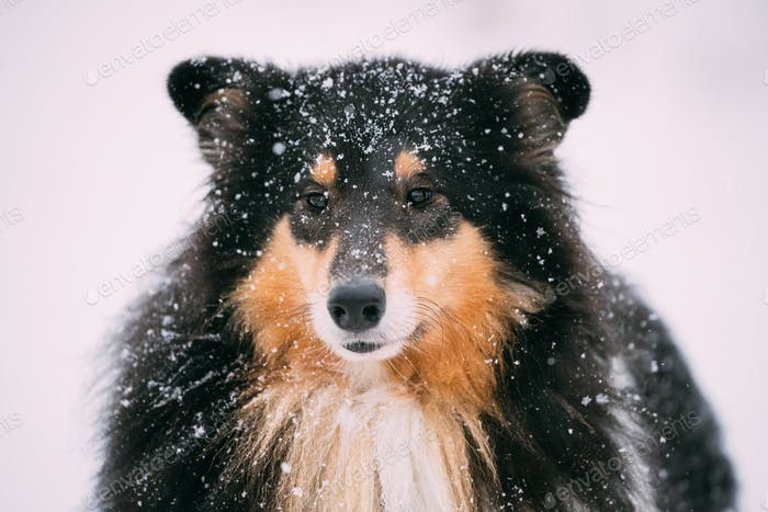 Fermer Vue De Shetland Sheepdog, Sheltie, Collie En Hiver enneigé