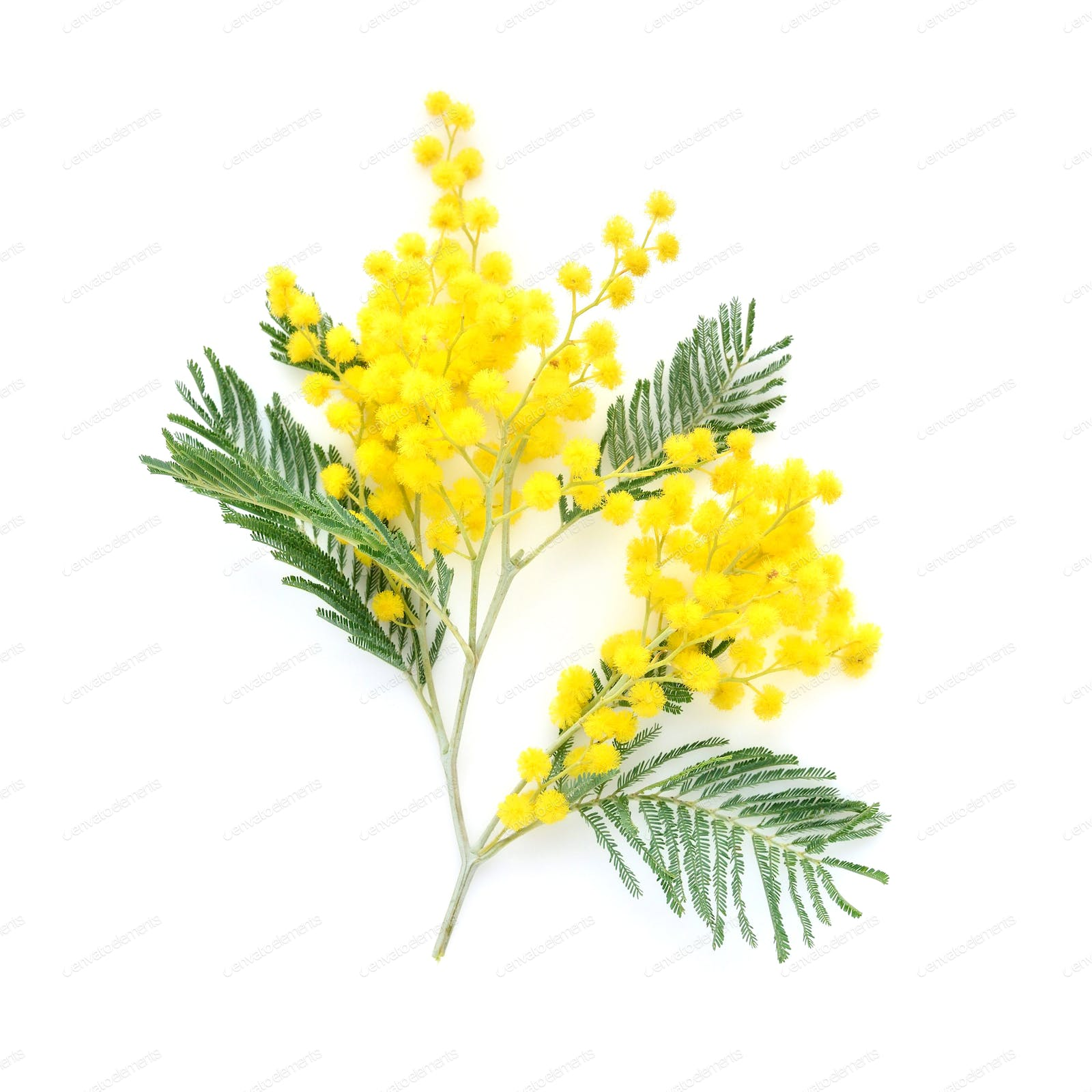 Mimosa (silver wattle) branch isolated on white background photo by