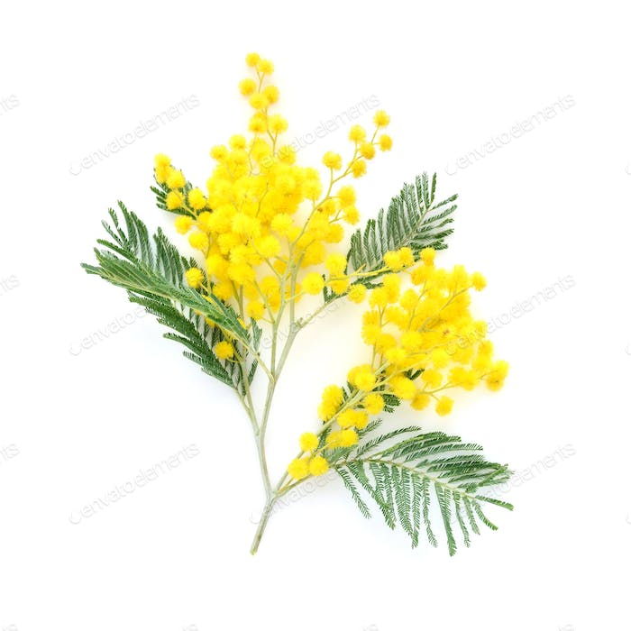 Mimosa (silver wattle) branch isolated on white background