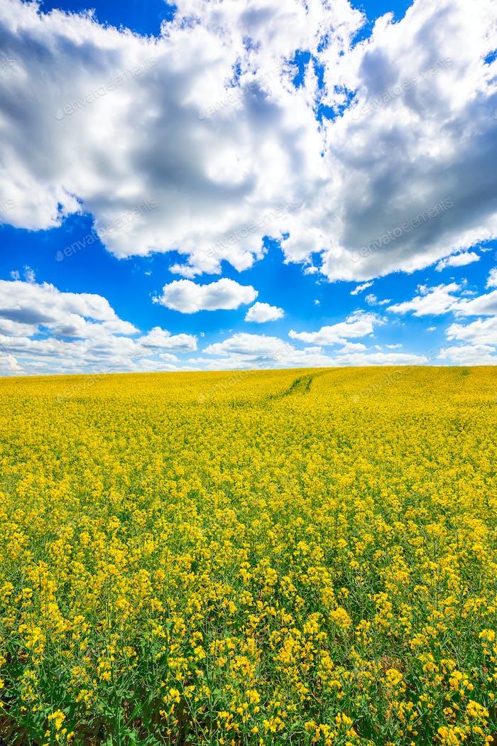 цветущее поле кользы на открытом воздухе весной
