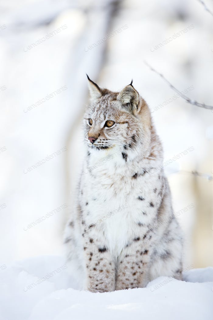 Lynx cub sits in the cold snow