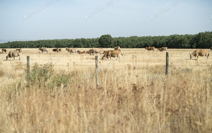 Cows graze yellowed grass