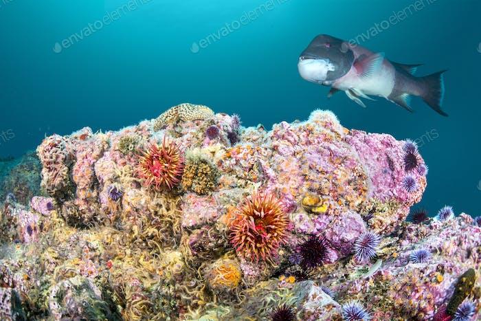 Rose Anémona y Sheephead en California Reef