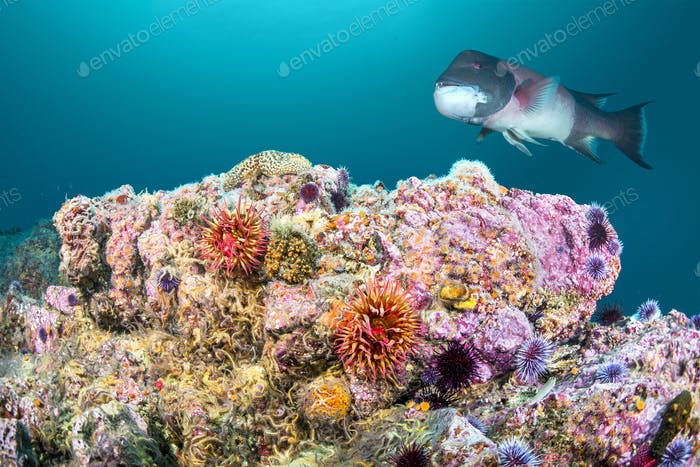 Rose Anemone and Sheephead on California Reef