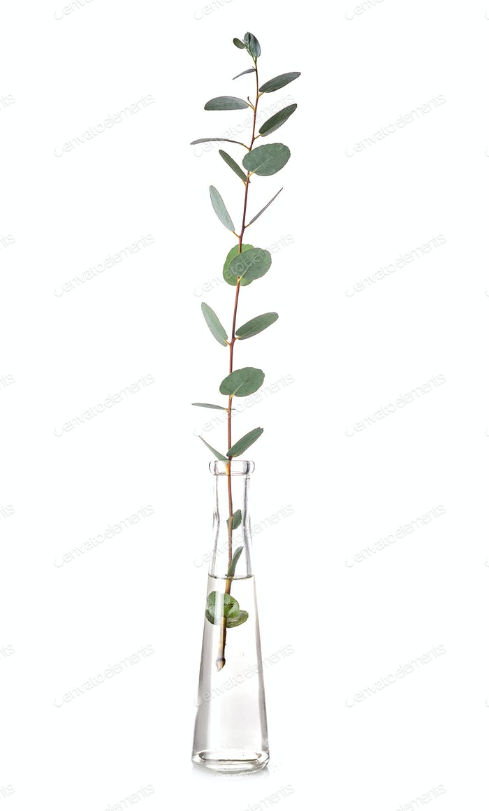 Eucalyptus in test tube