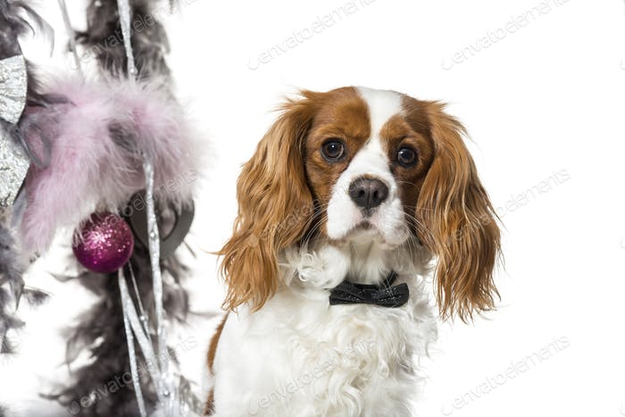 Cavalier King Charles Spaniel next to Christmas decoration against white background